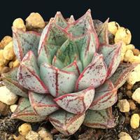 E. 大和錦  ホワイトホーム  Echveria  purpusprum  White  form(ゴンザレス) (067)
