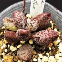 Adromischus mirianiae Antidorcatum / マリアンナエ アンチドルカッツム (11)