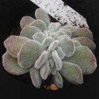 E.プルビナータ フロステイ セッカ  Echeveria pulvinata Frosty v. crist.  (071)