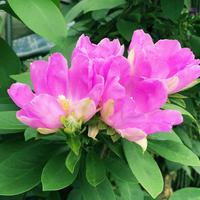 桜キリン(120)