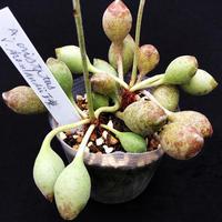 Adromischus  cristatus v.schonlandii moust. / 達磨神想曲(だるましんそうきょく) (02)