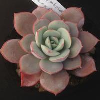 E.サブコリンボサ ラウ026(ゴンザレス苗)   Echeveria subcorynbosa Lau 026  (039)