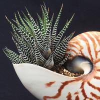 Nautilus object   オームガイのオブジェ