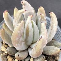 E. ウングイクラータ(ゴンザレスの苗)  Echveria unguiculata(092)