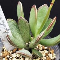 Adromischus  caryophyllaceus Kathoek.美花 / カリオフィラセウス カウーク (23)
