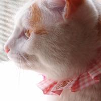 お猫もエシカルファッション『オシャ猫ラッフルカラー』ピンク
