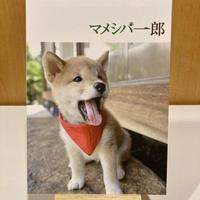 「マメシバ一郎」パンフレット