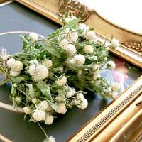 Dried flower's* センニチコウ / Buddy dwarf White assort