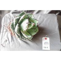 Agave titanota black and blue/アガベ チタノタ ブラックアンドブルー (コールドダメージ有)TB-9