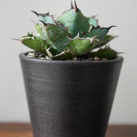 Agave titanota black and blue/アガベ チタノタ ブラックアンドブルー