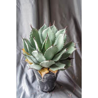 Agave parryi  huachucensis / アガベ パリー ホーチエンシス PH-5
