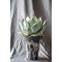 Agave parryi  huachucensis / アガベ パリー ホーチエンシス PH-6