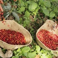 アイスコーヒー用モカブレンド/ゲラゲラ笑って雨雲なんか吹っ飛ばせ~ エチオピア・モカ ゲラ農園のコーヒー 300g