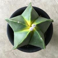 Astrophytum myriostigma v. nudum 4