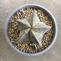 """Astrophytum myriostigma 肋骨""""恩塚ストロンギ"""""""
