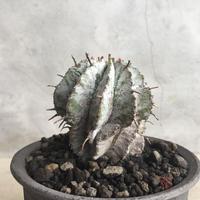 Euphorbia  horrida  2
