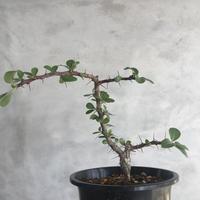 Fouquieria formosa  1