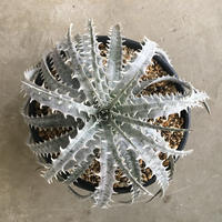 Dyckia ' north star'