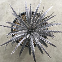Dyckia 'Brittle Star' F2