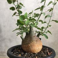 Adenia  spinosa 1