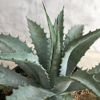 Agave  utahensis v. nevadensis × pablocarrillo(formerly gypsophilla)