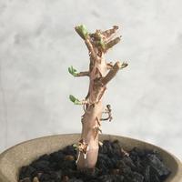 Othonna arborescens
