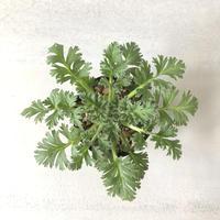Pelargonium appendiculatum 4