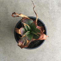 Aloe  thorncroftii
