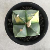 Astrophytum myriostigma f. varieg. 1