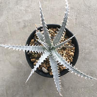 Dyckia  'Mountain of needles' 1