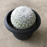 Mammillaria humboldtii 1