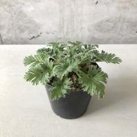 Pelargonium appendiculatum 1