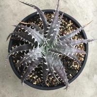 Dyckia marnier-lapostollei v. estevesii × goehringii