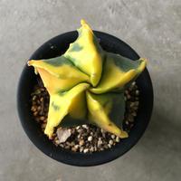 Astrophytum myriostigma v.nudam 7