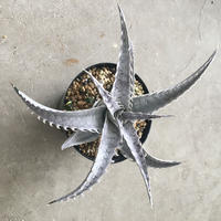 Dyckia  'Dancing Dervish'