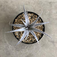 Dyckia goehringii ×  'Gray ops'