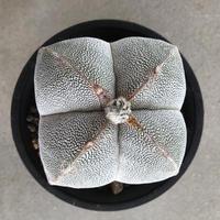 Astrophytum myriostigma 'ONZUKA' 5