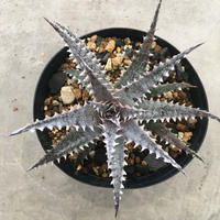 Dyckia 'Black Ice'