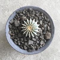 Geohintonia mexicana 2