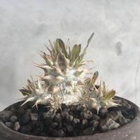 pachypodium densiflorum 1