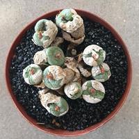 truncatum Kuruidfontein
