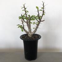 Fouquieria macdougalii