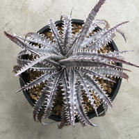 Dyckia 'Gray Ops'×'Bone'