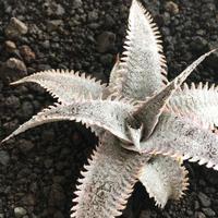 Dyckiamarnier-lapostollei(Red spines)