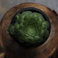 アエオニウム メイキョウ 観葉植物 グリーン お洒落 インテリア ナチュラル 新生活 ギフト