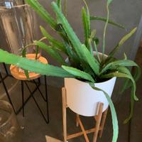 エビフィラム 鉢&ウッドスタンド付き 観葉植物 グリーン お洒落 インテリア ナチュラル 新生活 ギフト