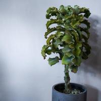 カランコエ 鉢付き 御祝い ギフト 植物
