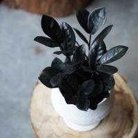 ザミオクルカス レイヴン 鉢セット 観葉植物 グリーン インテリア 新生活