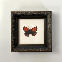 『紅小灰蝶』
