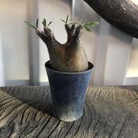 Pachypodium rosulatum var gracilius  GS2-12  パキポディウム グラキリス